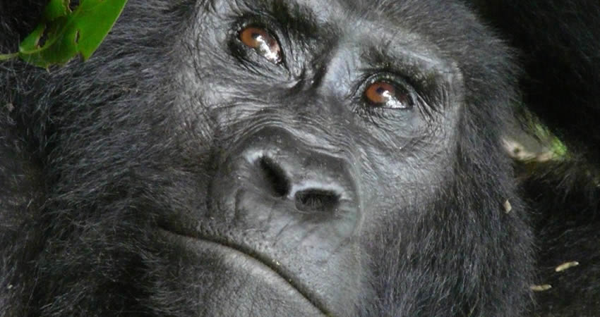 7 Days Uganda Primate Tracking Tour